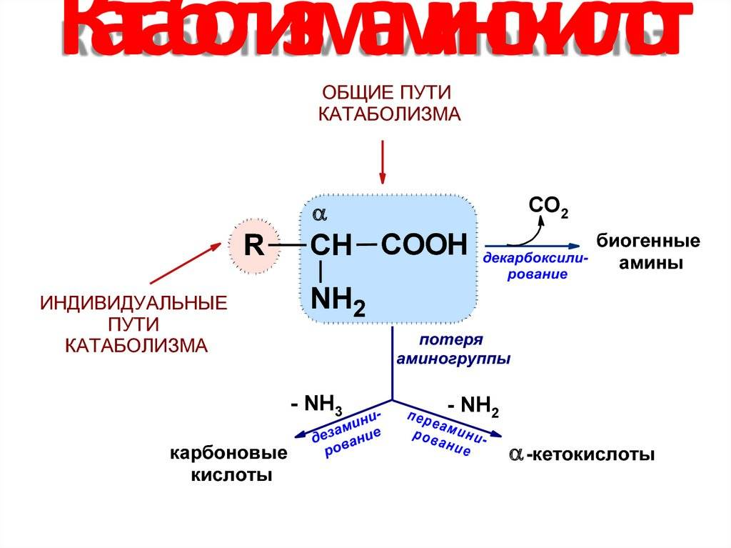 Алгоритм метаболизма