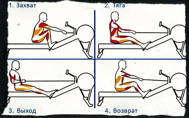 Какие мышцы работают на гребном тренажере
