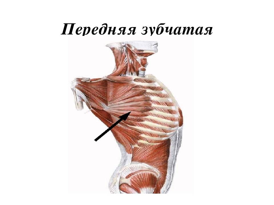 ✅ тренировка зубчатых мышц. как накачать зубчатые мышцы - sundaria.su