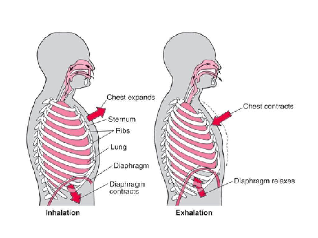 В чем разница между грудным и диафрагмальным дыханием и как научиться дышать животом?