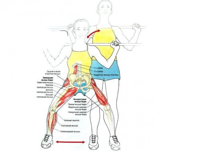 Функции и особенности приводящей мышцы бедра