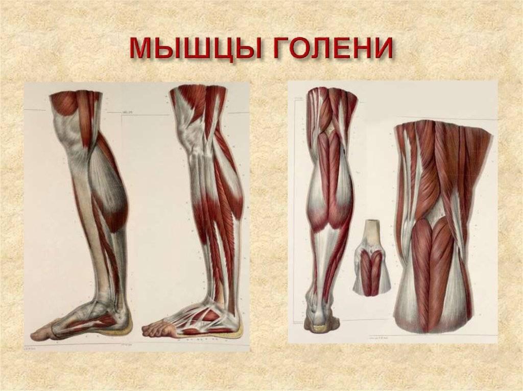 Анатомия мышц голени. передняя и латеральная группы
