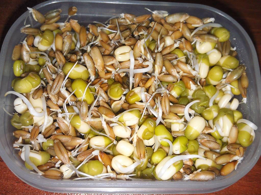 Расти зерно большое и маленькое. или как вырастить дома «живую» еду