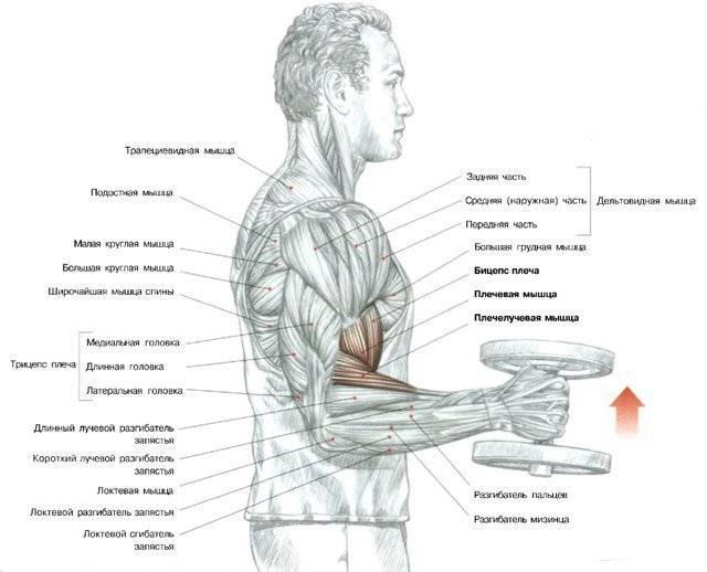 14 лучших упражнений на бицепс