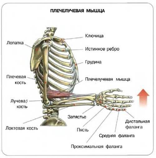 Плечелучевая мышца тренировка. как накачать
