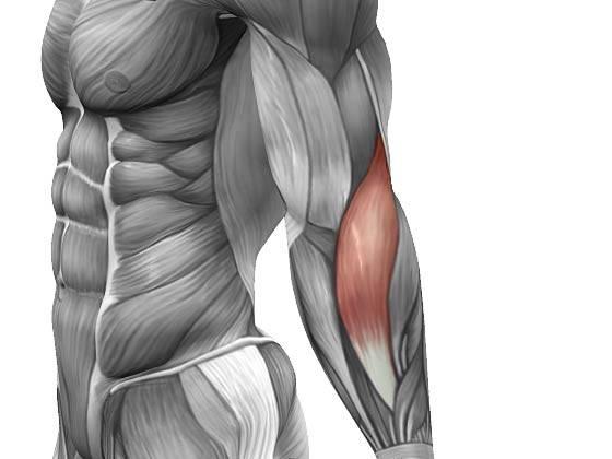Как накачать плечелучевую мышцу гантелями и без них, дома, на турнике