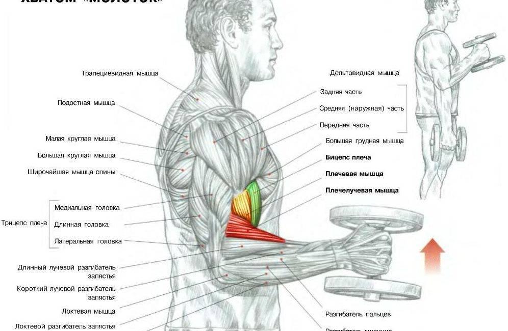 Как правильно качать руки дома —комплекс упражнений с гантелями