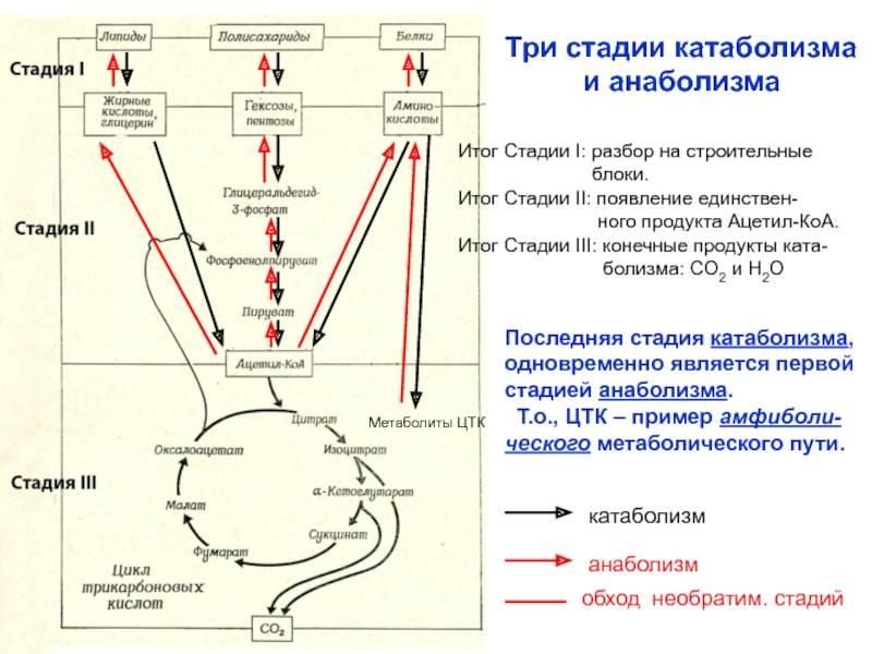 Катаболизм мышц этапы и процессы как избежать распада мышц в бодибилдинге