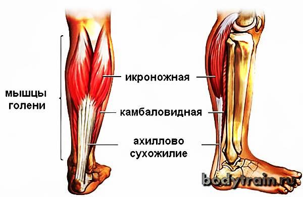 Подколенная мышца: анатомия и функции   kinesiopro