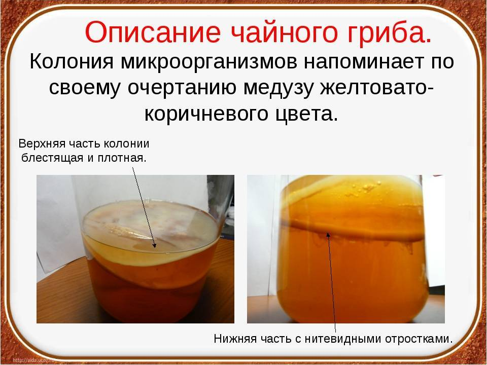 Чайный гриб - польза и противопоказания
