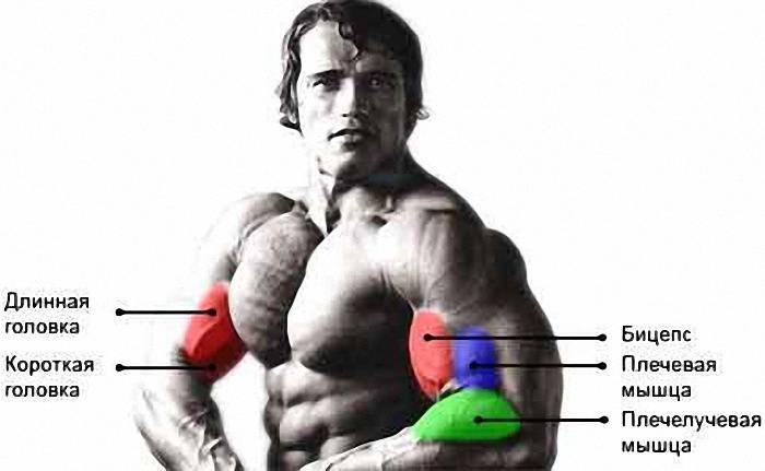 Пик бицепса. высокий пик бицепса - результат правильной стратегии тренировок.