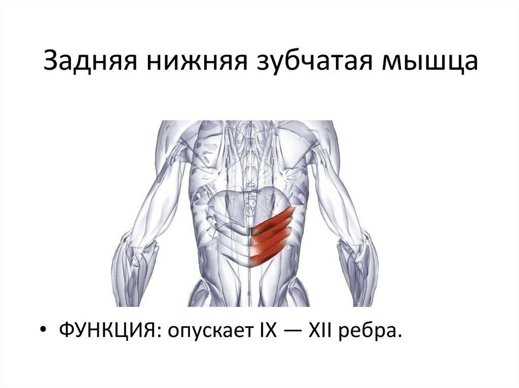 Как прокачать межреберные мышцы в домашних условиях. передняя зубчатая мышца — свойства и упражнения
