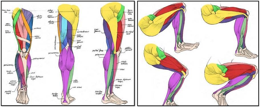 Трёхглавая мышца голени — википедия. что такое трёхглавая мышца голени