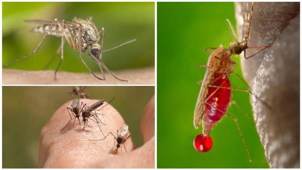 Людей, с какой группой крови комары кусают чаще, ответ врача