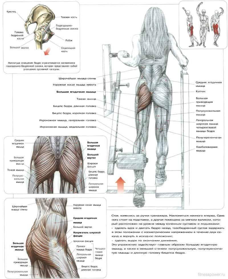 Анатомия бедра человека – информация: