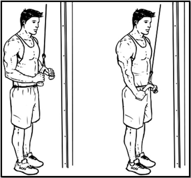 Разгибание рук на вертикальном блоке вниз: польза, техника