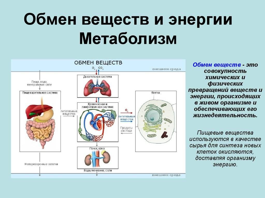 Обмен ⚠️ веществ и энергии: физиология, как происходит процесс в организме, значение