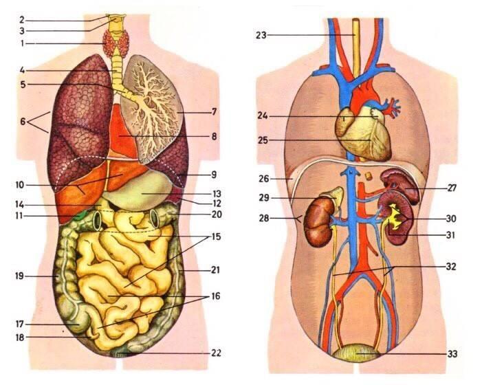 Пупок, пупочная область — большая медицинская энциклопедия