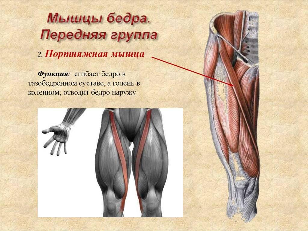 Анатомия четырехглавой мышцы бедра человека – информация: