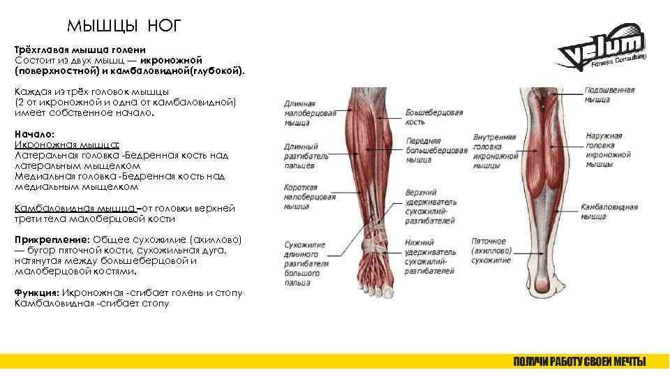 Мышцы голени [1958 механик н.с. - основы пластической анатомии]