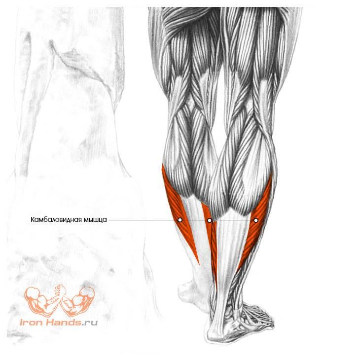 Подколенная мышца: анатомия и функции