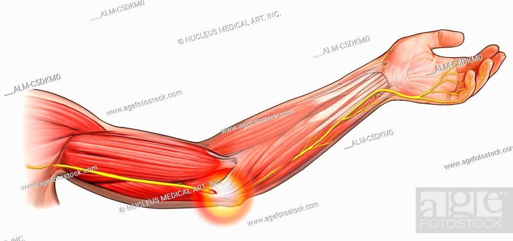 Мышцы предплечья | анатомия человека