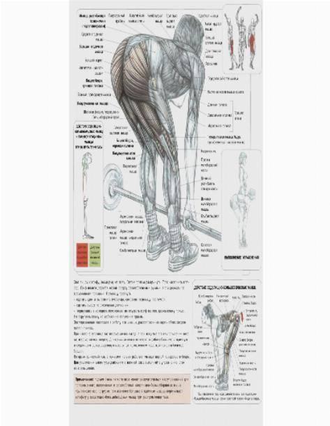 Бицепс бедра: анатомия и лучшие упражнения на двуглавую мышцу бедра