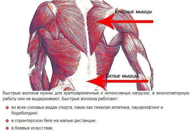 Рост медленных мышечных волокон