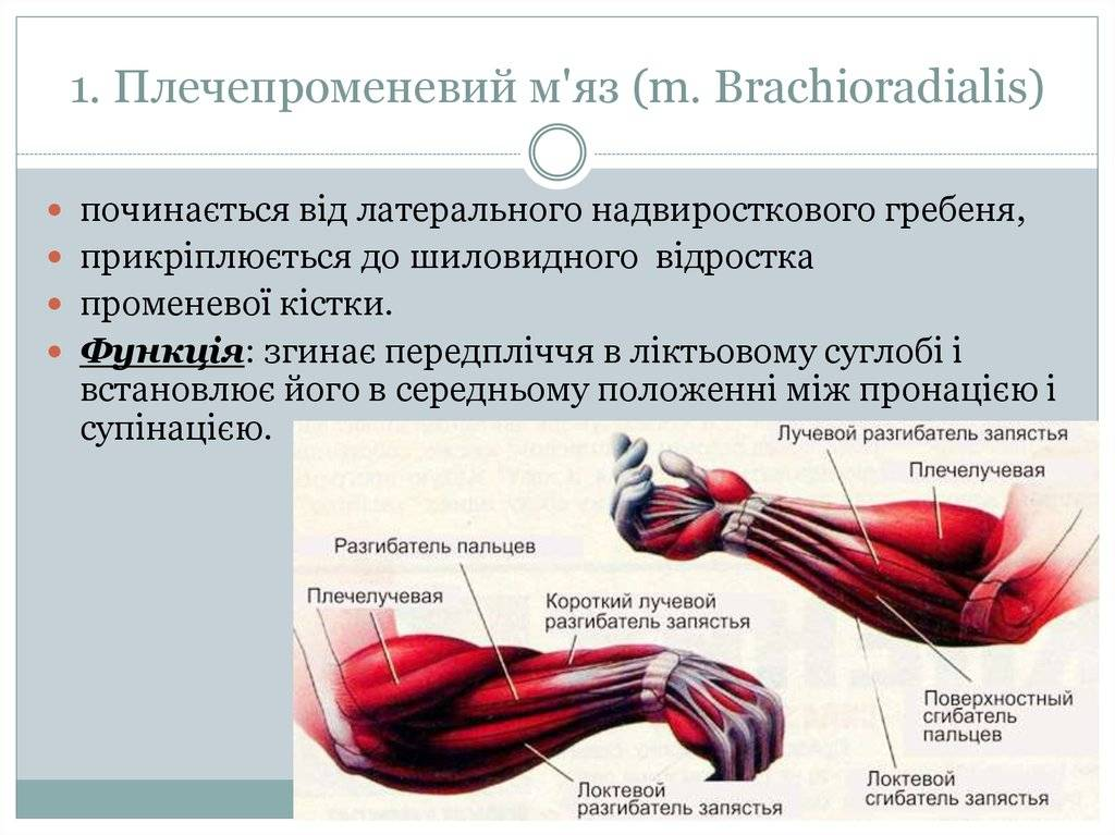Большая ягодичная мышца: анатомия, функции и упражнения | kinesiopro