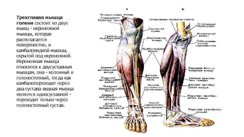 Анатомия мышц голени. передняя и латеральная группы.