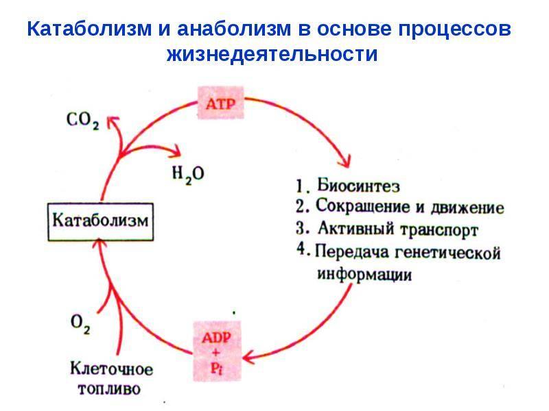 Метаболизм (обмен веществ): все что нужно знать от а до я!