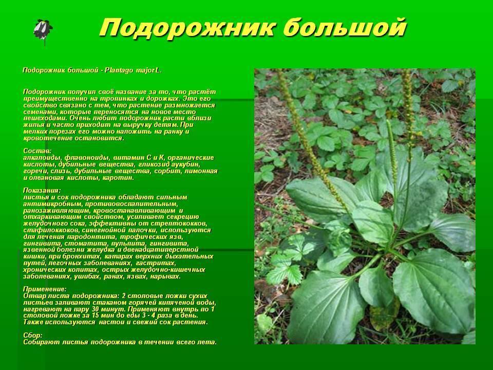Семена подорожника - рецепты домашних лечебных средств