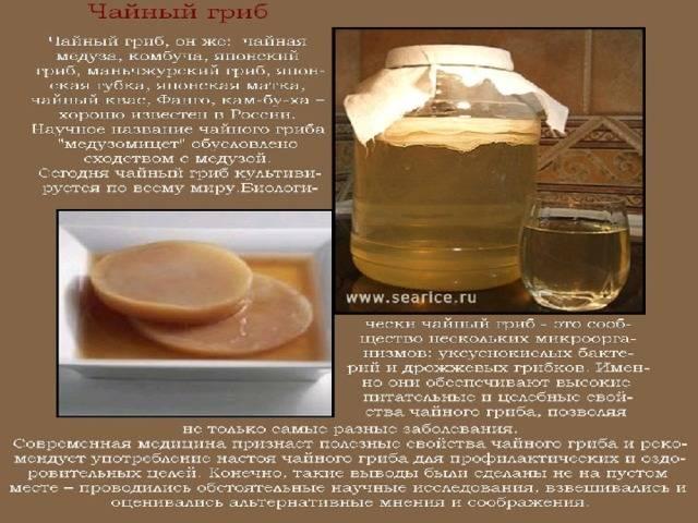Чайный гриб: научные факты о пользе и вреде комбучи :: здоровье :: рбк стиль