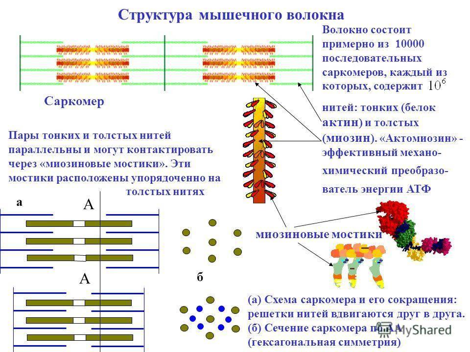 Тренировка медленных мышечных волокон (ммв)