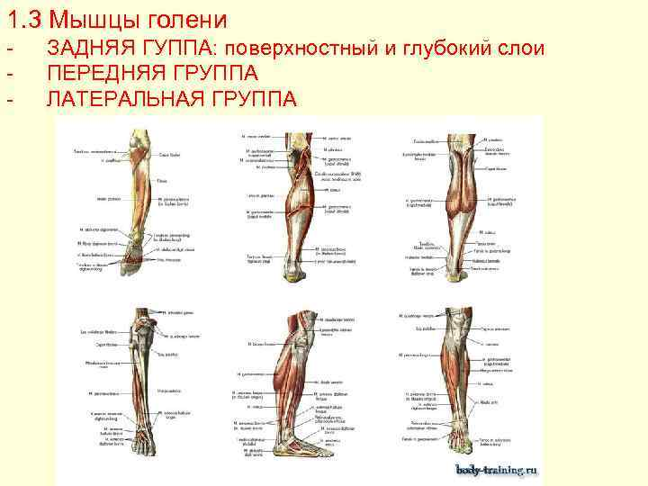 Мышцы голени   анатомия человека