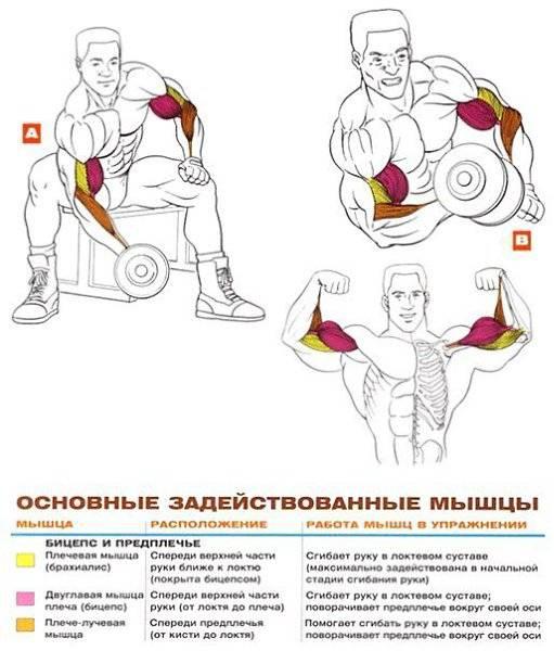Тренировка бицепса: упражнения для дома и тренажерного зала