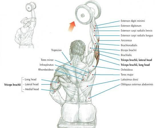 Упражнения на трицепс с гантелями: как накачать мышцы быстро