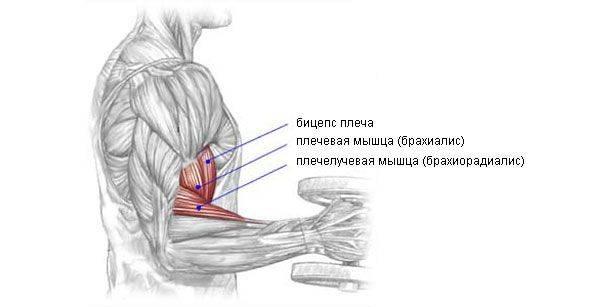 Брахиалис: как накачать плечевую мышцу, лучшие 7 упражнений - медицинские секреты