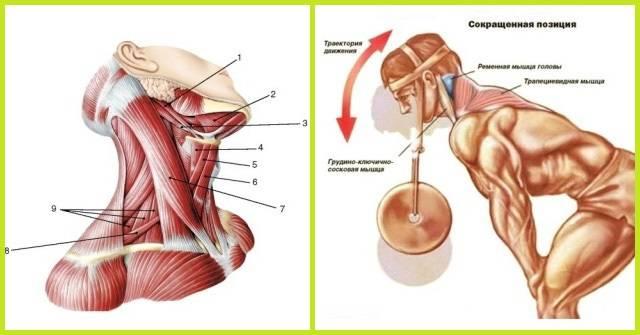 Тринировка мышц шеи. лучшие упражнения и их полный разбор