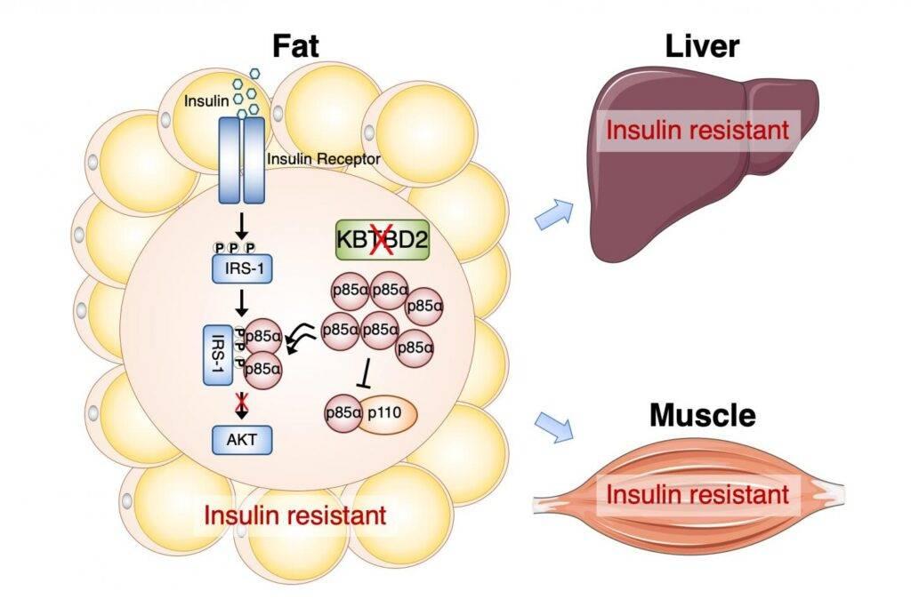 Гормон инсулин  как сжечь подкожный жир: влияние инсулинорезистентности на лишний вес