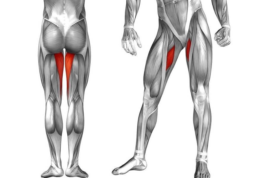 Мышцы бедра | анатомия человека
