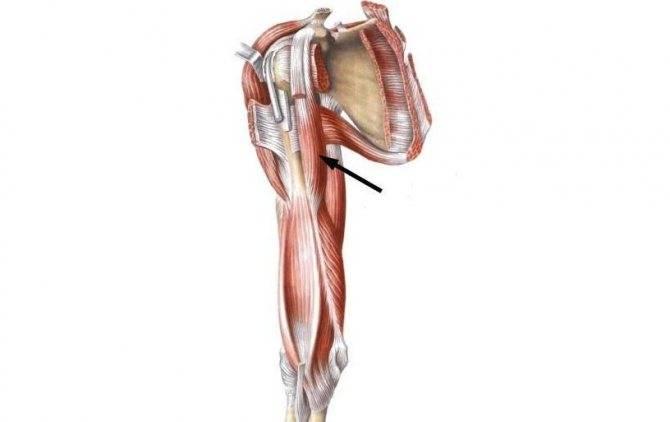 Многораздельные мышцы поясницы: анатомия, функции и упражнения | kinesiopro