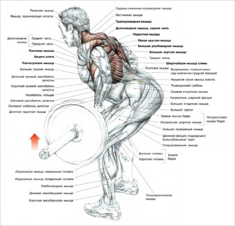 Правильная тренировка для развития мышц спины: лучшие упражнения и программа прокачки спины в зале