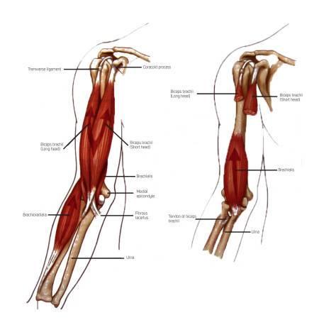 Мышцы человека: анатомия, функции, строение в картинках