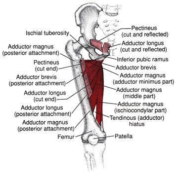 Анатомия и кинезиология мышц пояса нижних конечностей. мышцы таза. сгибатели тазобедренного сустава.(лекция 1) - фитнес портал
