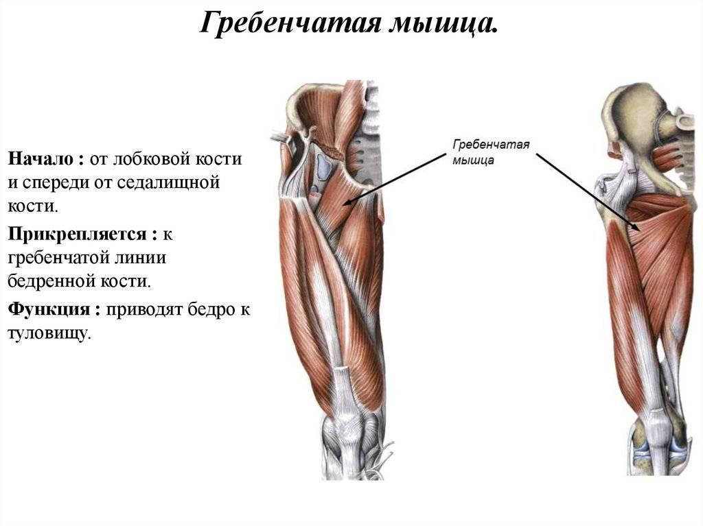 Средняя ягодичная мышца | kinesiopro