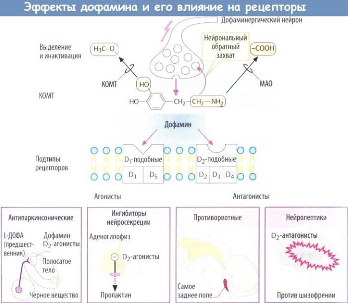 Дофамин: механизм действия, препараты, как повысить