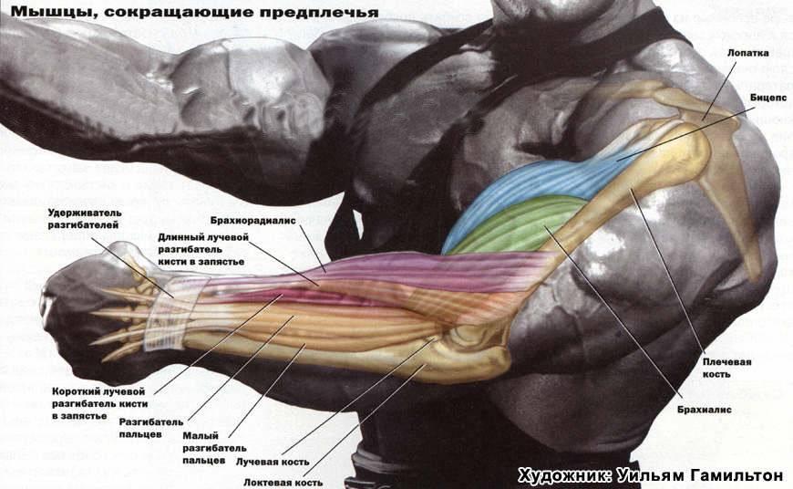 Как накачать бицепс: увеличить объем рук за короткие сроки