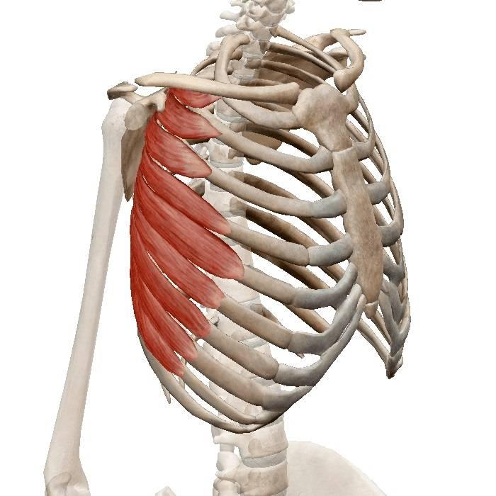 Развитие мышц туловища [1973 -