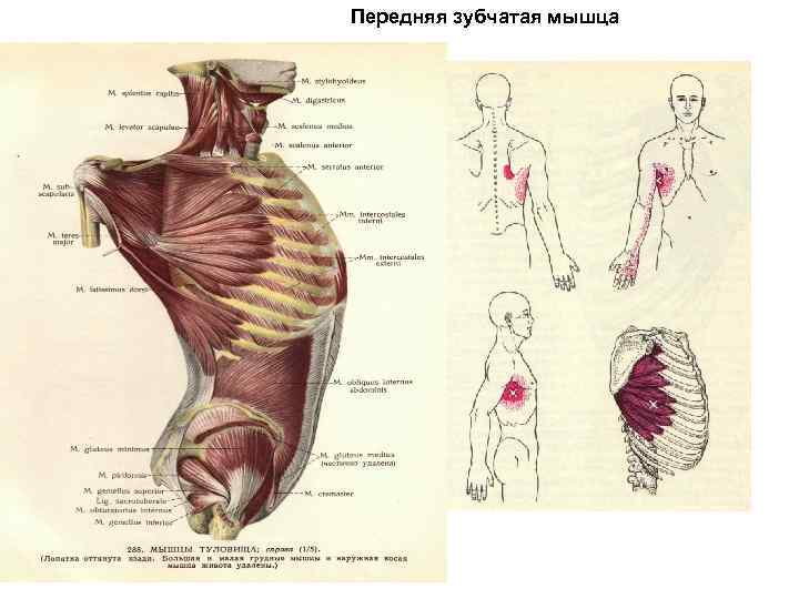 Зубчатые мышцы. комплекс упражнений.